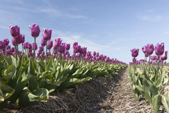 Purple tulips in dutch flower field from low angle and blue sky Stock Photos