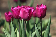 Purple tulips Royalty Free Stock Image