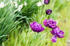 Purple tulips. In a field in daylight Royalty Free Stock Photography