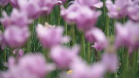 Purple tulips on the field. Close-up stock video footage