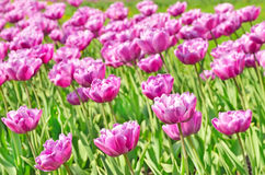 The purple tulips field Royalty Free Stock Photo