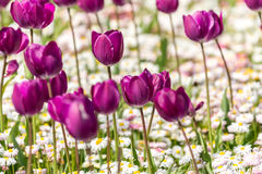 Purple Tulips Field Stock Photography