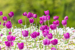 Purple Tulips Field Royalty Free Stock Photos
