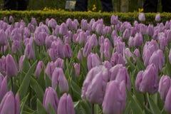 Purple tulips. Flowering purple tulips in a flowerbed Stock Photo