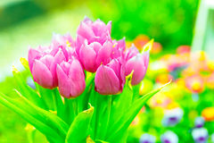 Purple tulips flowers Royalty Free Stock Photography