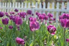 Purple tulips flowers in Field. Purple tulips flowers in outdoor field Stock Images