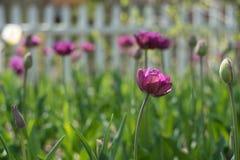 Purple tulips flowers in Field. Purple tulips flowers in outdoor field Stock Image