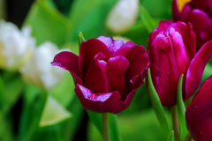 A purple tulips flowers that have a white color in the edge. Of petals with water drops form sprinkler reflect a sunlight in the morning and a blur purple Stock Images