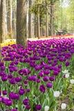 Purple tulips flowers Stock Image