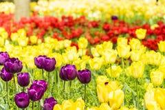 Purple tulips flowers Stock Photo