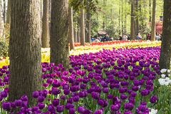 purple tulips flowers Royalty Free Stock Image