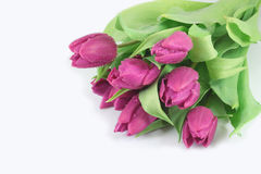 Purple tulips Royalty Free Stock Photo