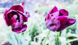 Purple Tulips in full bloom Royalty Free Stock Images