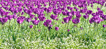 Purple tulips garden Royalty Free Stock Photography