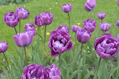 Purple  tulips in a garden. Purple double tulips in a garden Royalty Free Stock Image