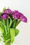 Purple tulips in the glass. Bright violet tulips in the glass on white background Stock Photos