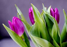 Purple tulips and green leaves stock photos