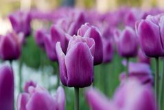 Purple tulips growing outside royalty free stock photo
