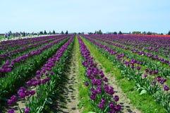 Free Purple Tulips In Skagit Valley Stock Photos - 118266033