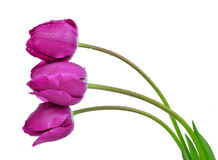 Purple tulips Stock Images