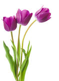 Purple tulips isolated on white background.  Stock Images