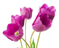 Purple tulips isolated on white background.  Royalty Free Stock Photo