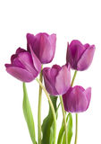 Purple tulips isolated on white background Royalty Free Stock Photography