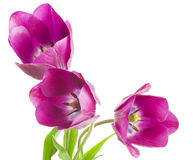 Purple tulips isolated on white background.  Royalty Free Stock Images