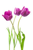 Purple tulips isolated on white background.  Stock Image