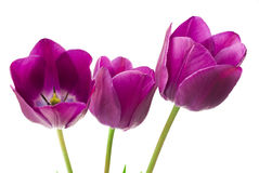 Purple tulips isolated on white background.  Stock Photo