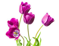 Purple tulips isolated on white background.  Stock Photography