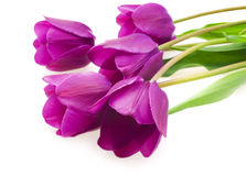 Purple tulips isolated on white background.  Stock Photos