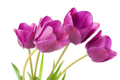 Purple tulips isolated on white background.  Royalty Free Stock Photography