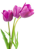 Purple tulips isolated on white background.  Royalty Free Stock Photos