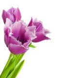 Purple tulips isolated on white background.  Stock Images