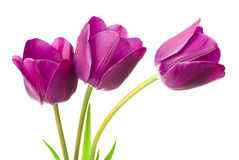 Purple tulips isolated on white background.  Royalty Free Stock Image