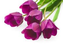 Purple tulips isolated on white background.  Stock Photo