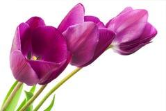 Purple tulips isolated on white background Stock Image