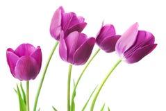 Purple tulips isolated on white background Stock Photos