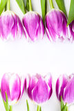 Purple tulips isolated on white. Background Royalty Free Stock Photography