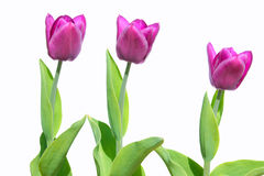 Purple tulips isolated on white Royalty Free Stock Photos