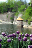 Purple Tulips Lakeside. Row of Purple Tulips overlook lake and landscape. Very serene Stock Photos