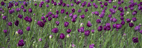 Purple tulips on a land. A growing inky and a purple tulips Royalty Free Stock Images