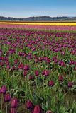 Purple Tulips and More Royalty Free Stock Photos