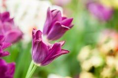 Purple tulips in morning sunlight Stock Photos