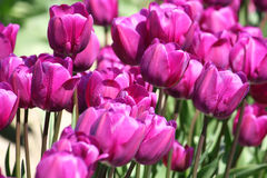 Purple tulips. Perfect summer day. Royalty Free Stock Photography