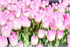 Purple tulips Royalty Free Stock Images