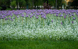 Purple Tulips field. Pionirski park in the center of Belgrade where many flowers bloom during spring. Among others there are these purple beautiful  tulips Royalty Free Stock Photography