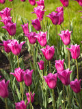 Purple tulips Stock Photos