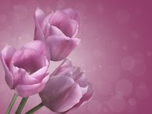 Purple tulips. Stock Image